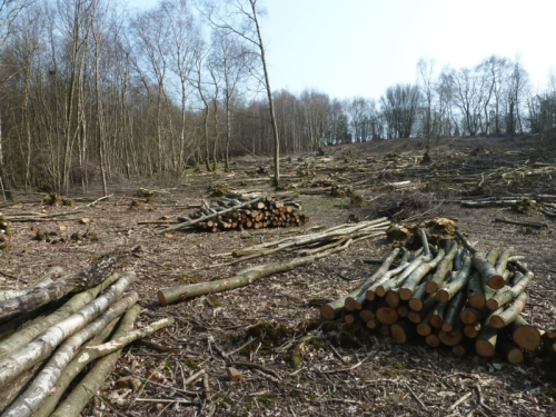 recently cut coppice in March 2011