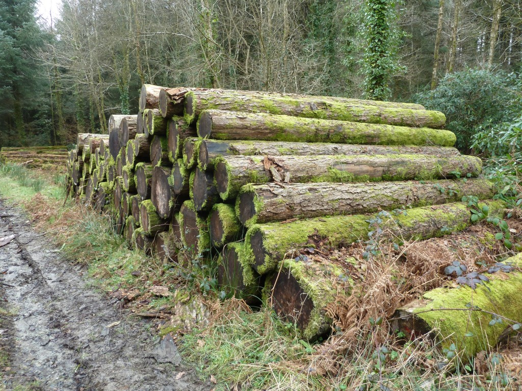 Larch sawlogs