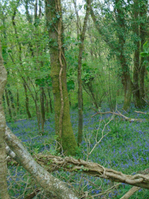 Ancient semi natural woodland Devon